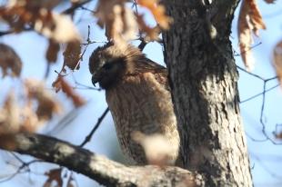 Hawk turning its head